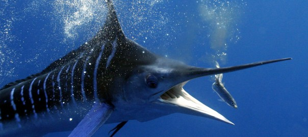 The Canary Islands, Marlin's paradise