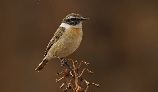 Canary Stonechat (Saxicola dacotiae): endemic to Fuerteventura