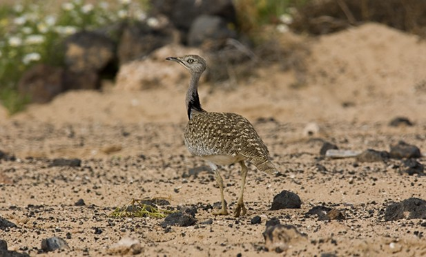 Birds: The Canarian Houbara, inhabitant of The Islet of Lobos, Fuerteventura and Lanzarote