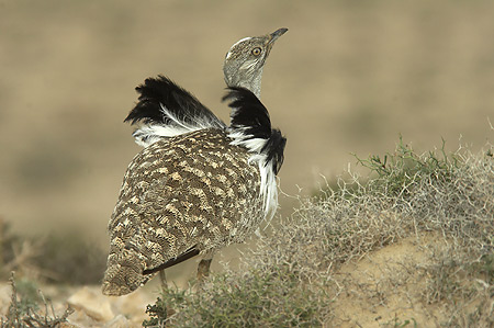FuerteCharter excursions Fuerteventura | Birds: The Canarian Houbara