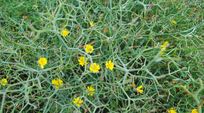 Gorse blooming in Fuerteventura