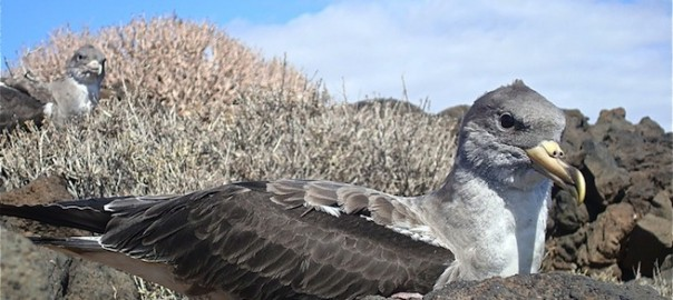 Discover the Cory's Shearwater in our boat trips