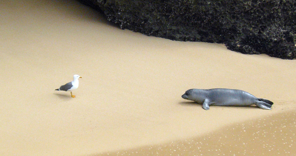 The monk seal: an ancient inhabitant in our coasts