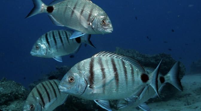 The seabream: A species found in abundance in Fuerteventura