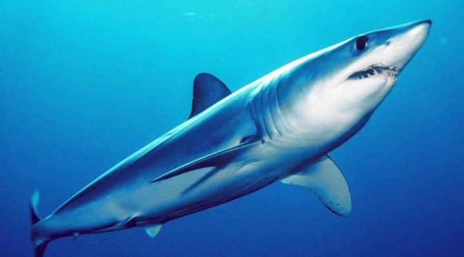FuerteCharter | Mako shark Fuerteventura