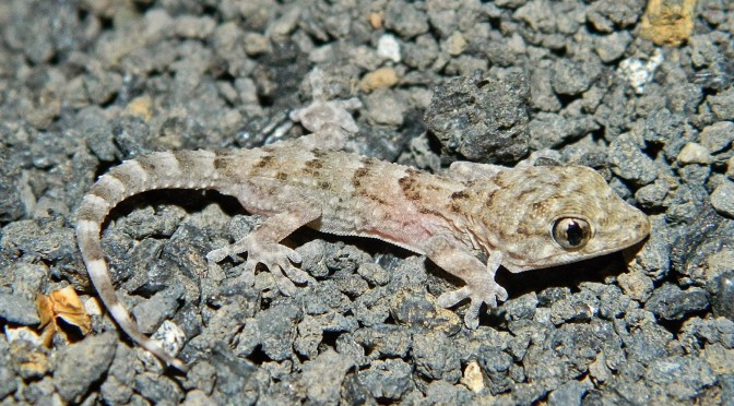 """ MAJORERO"" wall gecko, outstanding resident of  Lobos Islet  and Fuerteventura"