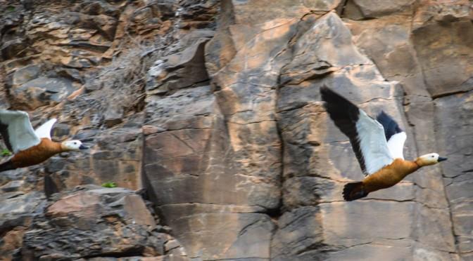 Fuerteventura, paradise for birds: The Ruddy Shelduck