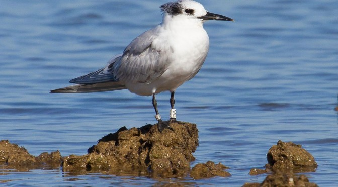 Fuerteventura, stopping place for the Sandwich Tern