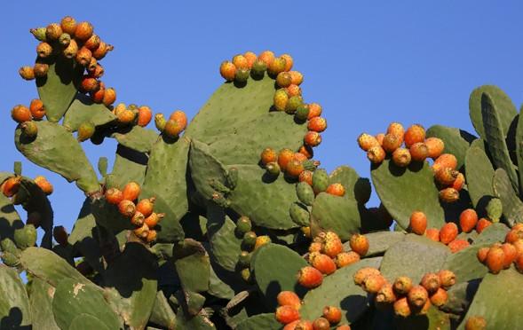 Prickle pears: Fuerteventura landscape