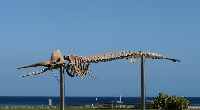 (Español) Los gigantes marinos que vigilan nuestras aguas: Cetáceos (I)