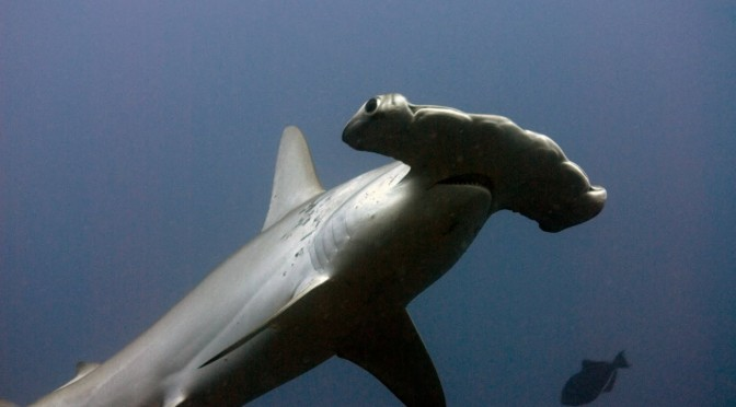(Español) La cornuda o pez martillo, una especie sorprendente que habita en aguas de Fuerteventura
