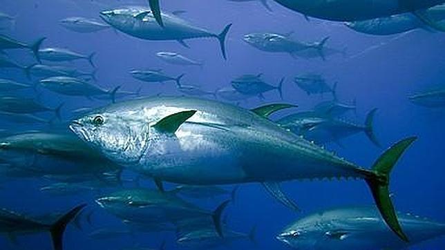 (Español) Un rey en el Atlántico: el atún rojo