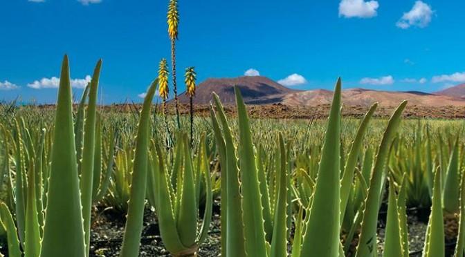 (Español) Aloe vera de Fuerteventura, el mejor aloe del mundo